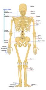 skeleton-41547_640